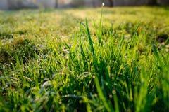 Orvalho fresco da manhã na grama da mola, fundo natural - ascendente próximo Foto de Stock