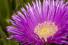 Orvalho na flor lilás Imagem de Stock