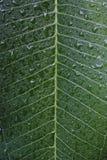Orvalho nas folhas Foto de Stock Royalty Free