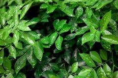 Orvalho nas folhas Fotografia de Stock