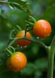 Orvalho nos tomates de cereja Fotografia de Stock Royalty Free