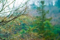 Orvalho ou gota do ramo seco da água da árvore Imagens de Stock Royalty Free