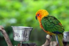 Orville der Papagei Lizenzfreies Stockfoto