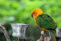 Orville The Parrot. Closeup of colorful parrot perching on a branch Royalty Free Stock Photo