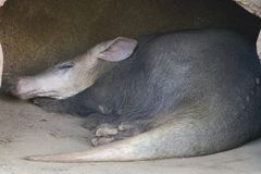 Oryctérope endormi images libres de droits