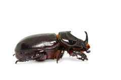 Oryctes gnu rhinoceros beetle Stock Photography