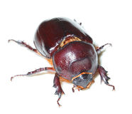 Oryctes nasicornis, European rhinoceros beetle Royalty Free Stock Photo