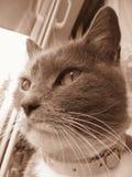 Oryginalna fotografia kaganiec kot w sepiowym Fotografia Stock