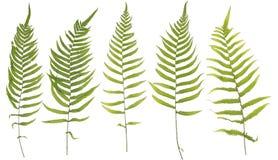 Oryginalny rozmiar folował ramę zbierająca liść paproć odizolowywająca dalej Zdjęcia Stock