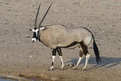Orynx alone. An Oryx approaches a watering hole. These beautiful beasts can go for days with out water! Kgalagadi National Park, South Africa stock photography