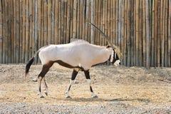 Oryx árabe Fotos de Stock Royalty Free