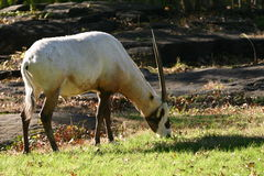 Oryx árabe Imagen de archivo libre de regalías