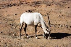 Oryx árabe Imágenes de archivo libres de regalías