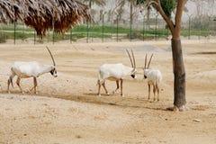 Oryx árabe en desierto Foto de archivo
