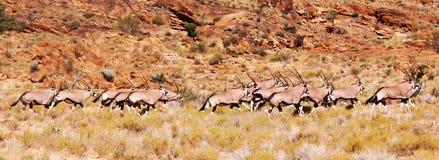 Oryx ή Gemsbok στην αρμονία Στοκ φωτογραφίες με δικαίωμα ελεύθερης χρήσης