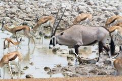 Oryx και αντιδορκάδες Στοκ φωτογραφία με δικαίωμα ελεύθερης χρήσης