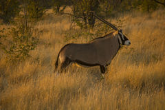 Oryx, Ναμίμπια Στοκ Εικόνες
