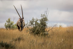 Oryx που εγκαταλείπει τη κάμερα Στοκ εικόνες με δικαίωμα ελεύθερης χρήσης