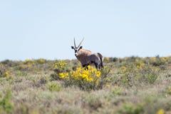 Oryx που περπατά στο θάμνο Σαφάρι άγριας φύσης στο εθνικό πάρκο Karoo, προορισμός ταξιδιού στη Νότια Αφρική Στοκ Φωτογραφίες