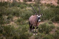 Oryx που στέκεται στη χλόη και το κοίταγμα Στοκ Εικόνα