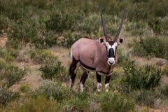 Oryx που στέκεται στη χλόη και το κοίταγμα Στοκ Εικόνες