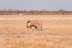 Oryx που στέκεται στο ζωηρόχρωμο τοπίο του μεγαλοπρεπούς εθνικού πάρκου Etosha, καλύτερος προορισμός ταξιδιού στη Ναμίμπια, Αφρικ στοκ φωτογραφίες