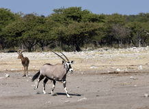 oryx Намибии gemsbok Стоковое фото RF