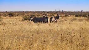 Oryx royalty-vrije stock fotografie