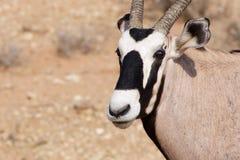 Oryx Photo stock