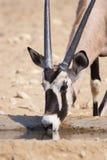Oryx Imagem de Stock Royalty Free