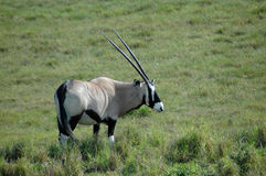 Oryx. Gemsbok or Oryx gazelle in the grassland watching wildlife in a game park in South Africa Royalty Free Stock Image