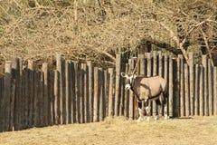 Oryx Royalty Free Stock Image