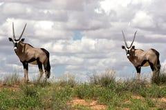 Oryx Fotografia de Stock Royalty Free