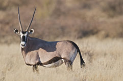 Oryx. The Oryx or gemsbok is a large antelope species from south western Africa. It is able to survive in the desert and severe dry seasons Royalty Free Stock Photos