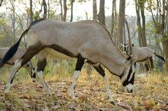 Oryx. In chiang mai night safari Royalty Free Stock Photos