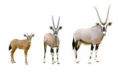 Oryx. In chiang mai night safari, thailand Stock Photography