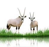 Oryx Stock Fotografie