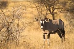 Oryx Stockfotografie