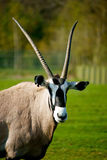 Oryx. Beautiful oryx on a grass field Royalty Free Stock Image
