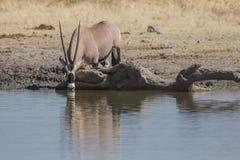 Oryx Stock Foto