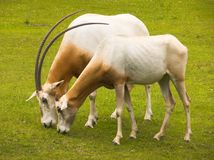 Oryx Royalty Free Stock Photography