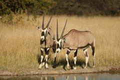 Oryx Zdjęcia Stock