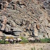 Oryx Lizenzfreies Stockbild