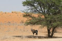 Oryx. Shade tree wild life Royalty Free Stock Image