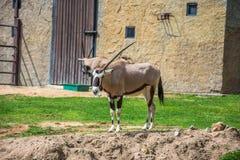 Oryx imagem de stock