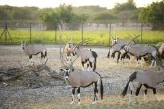 Oryx Στοκ εικόνες με δικαίωμα ελεύθερης χρήσης