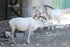 Oryx στοκ εικόνα