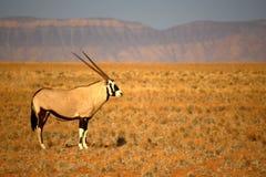Oryx Imagenes de archivo