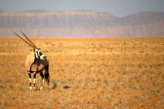 Oryx Fotografía de archivo libre de regalías