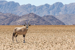 Oryx 2 Imagenes de archivo